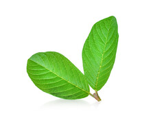 Guava Leaf Isolated On A White Background
