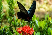 Closeup Shot Of A Black Butterfly Feeding On A Red Flower In A Garden In Spain