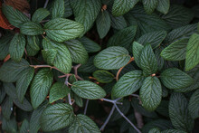 The Leaves Of The Viburnum Rhytidophyllum Plant Are An Evergreen Shrub With Beautiful Textured Green Leaves On An Autumn Day.