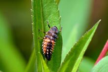 Larve Des Asiatischen Marienkäfer, Harlekin-Marienkäfer // Larva Of The Asian Ladybeetle (Harmonia Axyridis)