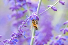 A Bee On A Lavender Stalk