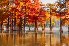 Taxodium Distichum With Red Needles In Sukko, Russia. Autumnal Swamp Cypresses On Lake With Reflection.