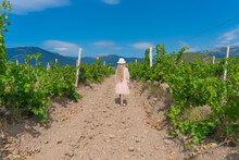 Girl In Vineyard And Mountains Sky Earth Mountains Winery Vine, Grape Agriculture Red Harvest Spring, Outdoors Female. Beautiful Grapes Farmer