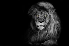 Lion , King Isolated , Portrait Wildlife Animal