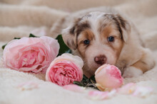 Small Australian Shepherd Puppy Red Merle On White Fluffy Soft Blanket Next To Pink Roses. Beautiful Aussie Dog For Holiday Cards. International Womens Day. Happy Valentines Day.