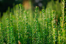 Vertical Dark Green With Yellow Stripes Branches Of Yew Taxus Baccata Fastigiata Aurea As Natural Background