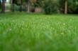 piękna zielona trawa, skoszony trawnik o poranku.
