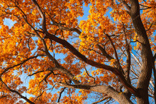 Autumn Background Of Oak Branches With Yellow Leaves And Blue Sky Upward View
