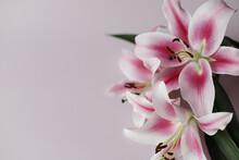 Fresh Smelly Lilies In Closeup On Light Pink Background.