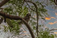 Spotted Owlet (Athene Brama) At Kolkata, India