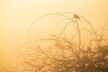 Eurasian Collard Dove In A Foggy Morning Perched On Acacia Tree, Bahrain