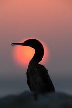 Silhouette Of A Socotra Cormorant During Sunrise, Bahrain