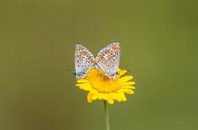 Pair Of Tiny Butterflies On Yellow Daisy, Polyommatus Agestis