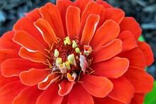 Orange Zinnia Unfurling