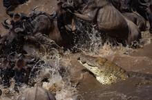 A Croc Attacking Wildebeest In Africa