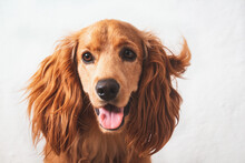 Adorable Grown-up English Cocker Spaniel With Its Mouth Open