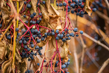 Close Up Of Autumn Red And Green Leaves Of Small Grapes In The Field
