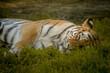 Tygrys leżący na trawie