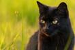 Czarny kot na tle trawy w promieniach zachodzącego słońca