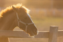 Portrait Of Young Bay Horse In The Corral In Beams Of Sun