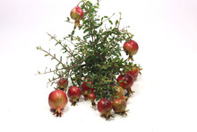 Close-up Shot Of The Small Decorative Ornamental Pomegranates Isolated On A White Background