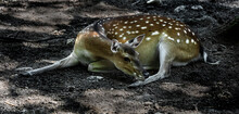 Sika Deer Female In The Shadow. Also Known As The Spotted Deer Or The Japanese Deer. Latin Name - Cervus Nippon