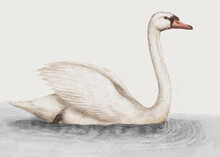 White Swan Vintage Illustration Vector, Remix From Original Artwork.