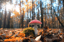 Amanita Muscaria Mushroom In Autumn Forest, Natural Sunny Background. Fly Agaric Poisonous Wild Mushroom In Fallen Leaves. Harvest Fungi Concept. Fall Season