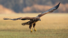 Juvenile White-tailed Eagle, Haliaeetus Albicilla, In Flight Over The Pasture. Young Hunter With Beak Landing On Field In Autumn. Immature Bird Of Prey With Open Wings.