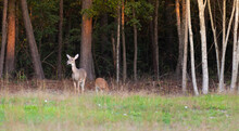 Yearling Eating Near A Doe