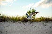 Laughing Gull Looks And Poses For A Photo