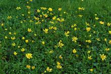 Beautiful Shot Of Yellow Wildflowers Growing In The Green Grass Field