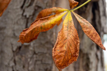 Withered Brown Palmate Autumn Leaf In Close Up Detail