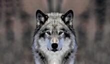 Gray Wolf Canis Lupus Illustration.