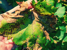 Rot Dots Of Dry Vine Leaf Close-up. Protection Of The Vineyard
