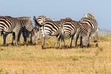 Flock Of Zebras Grazing On The Savanna