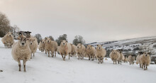 A Flock Of Sheep In A Snow Covered Landscape In The Yorkshire Dales
