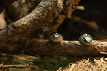 Beautiful Shot In The Great Wildlife Of Two Snakes Crawling On A Fallen Branch