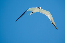 Seagulls In Flight Romania 15