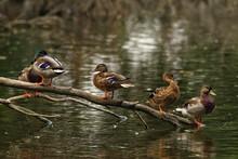 Selective Of Mallards (Anas Platyrhynchos) On The Pond