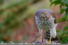 Hawk Feeding On Mourning Dove Prey. Cooper's Hawk Juvenile.