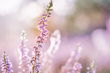 Selective Focus Of Beautiful Pink Heather On A Blurry Background Of The Field
