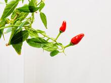 Hot Cultured Pepper
