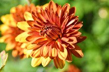 Red And Yellow Chrysanthemum Flowers Close Up In The Garden