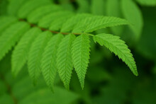 Fresh Foliage. A Green Branch With Serrated Leaves. Close-up. Macro.