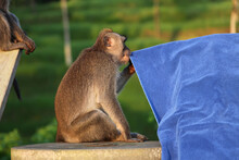 A Funny Monkey Watching A Towel In Bali, Indonesia