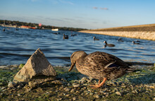 Shy Duck At Draycote Water Reservoir