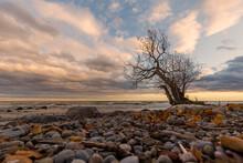 Lone Tree On Lake Ontario Shore In Autumn