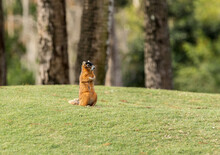 Alert Big Cypress Fox Squirrel Sciurus Niger Avicennia Gathers Nuts On A Tree Branch In Summer