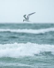 Hunting Tern Flying Over Sea Against Sky